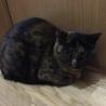 美形でツンデレなサビ猫ランちゃん サムネイル3