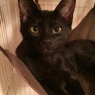 元気はつらつ!わんぱく黒猫きょうだい【ナイル】