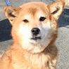 人懐い賢い柴犬のかすみちゃん/有難うございました!