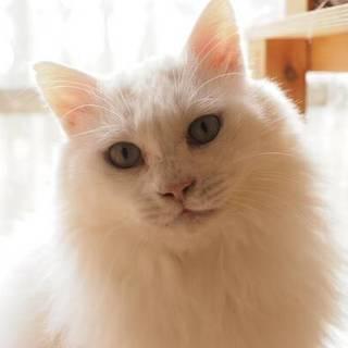 【2/3東日本橋】穏やかな超毛白猫紳士♡ユッキー君