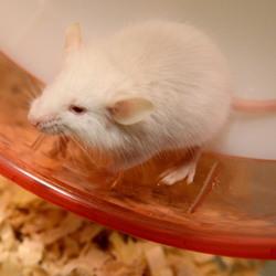 はじめてのマウスお迎え