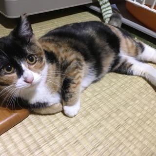 お目目クリクリの可愛い三毛猫さんです