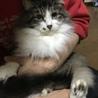 モフモフした柔らかい毛長の猫ちゃん