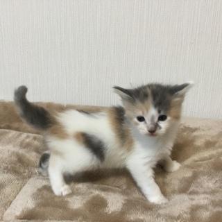 子猫 生後1ヶ月 マンチカン長足