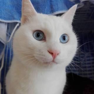 ブルーアイがカッコいい もっふもふ白猫