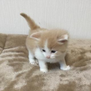 子猫生後1ヶ月 マンチカン 長足ー