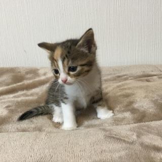 子猫 マンチカン 長足