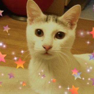 6ヶ月半☆綺麗な白三毛 陽ちゃん