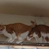 超甘えん坊のデカ猫&子猫お世話大好きな五郎蔵さん サムネイル3