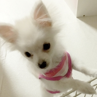 元気いっぱい☆ポメラニアンの子犬【ノンちゃん】