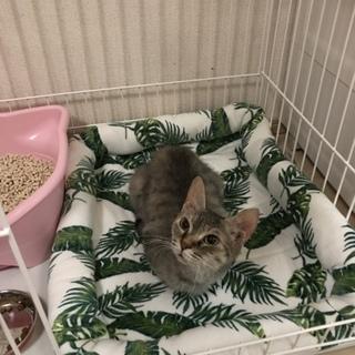 ラパーマ  5歳  ママ引退猫ちゃん
