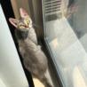 ラパーマ  5歳  ママ引退猫ちゃん サムネイル2