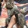 ラパーマ  5歳  ママ引退猫ちゃん サムネイル6