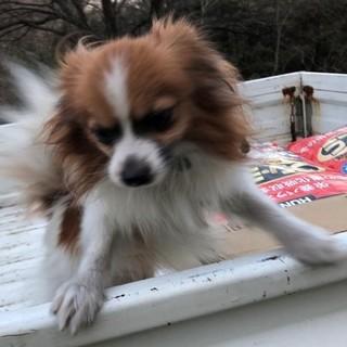 【ブリーダー引退犬】可愛いパピオン2歳の男の子♂