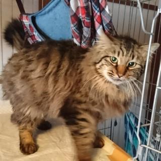 大きいフサフサ猫、フサちゃん♂の里親さん募集