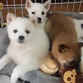2カ月の姉妹子犬(ひな、チコ、ネネ)里親募集