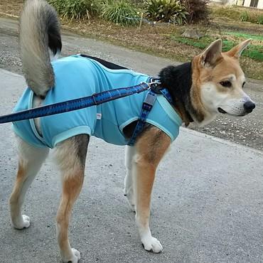 去勢されたよー 知らん人・動物一杯で怖かったよー 術後服、中型犬用の一番大きいの(笑)