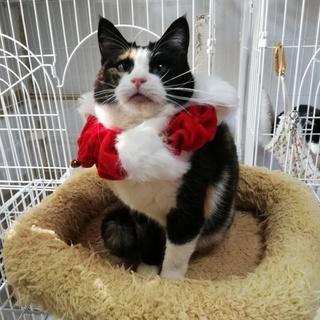 お膝大好き 超甘えん坊の三毛猫です