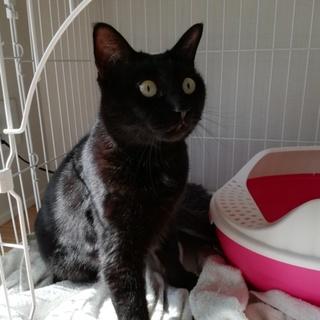 黒猫のジジ 里親探してます!