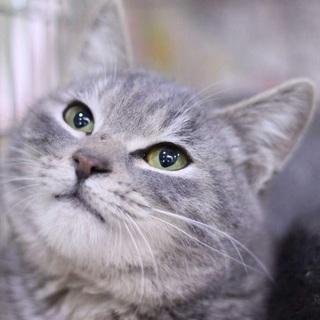 グレーの美猫兄妹  グレアム