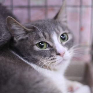 グレーの美猫兄妹 グロリア