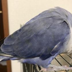 バイオレットのコザですが羽の先がオリーブです。