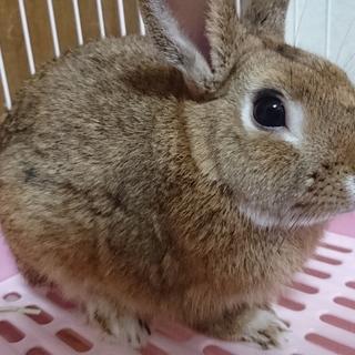ミニウサギ  抱っこ出来てすごく可愛いです