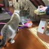 寝た隙に新入りチェックする先住猫。