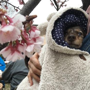 桜まつりに行ったけど、寒くて大変