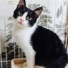沖縄より募集/スリゴロのハチワレ子猫