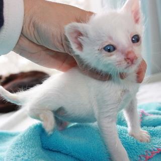 可愛い青い目の白猫 そん君 離乳中