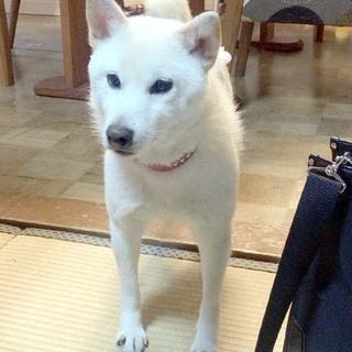 豆白柴ミックス こつぶちゃん(7/3内容修正)