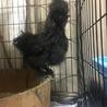 黒い黒い烏骨鶏