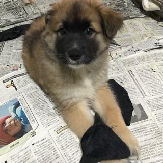 ふわもこの可愛い子犬もうすぐ3か月オス