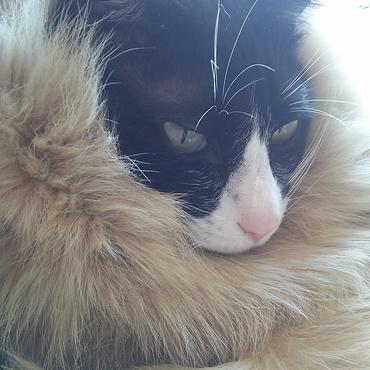 もふもふゴージャス。キトちゃんは似合っていたのにな~。。