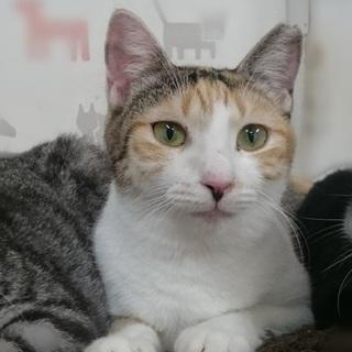 猫大好き三毛☆タエちゃん1歳