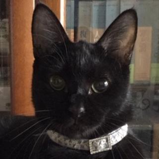 純黒猫♪陽気な小悪魔カリンちゃん♪約2歳
