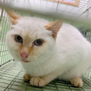 可愛い目が青い猫