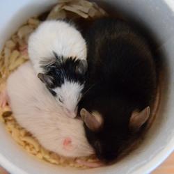 マウスとパンダマウスの多頭飼い