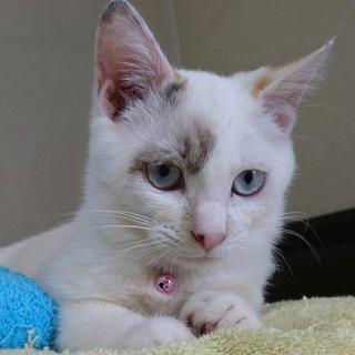 目がブルーほぼ白猫だけど実はミケちゃん生後4ヶ月♪
