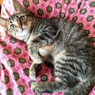 ワクチン済み元気いっぱいキジ子猫