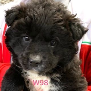 W98 可愛い子犬です。