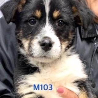 M103 バーニーズ柄の可愛い子犬です。