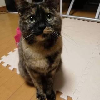 2.23藤井寺市譲渡会参加猫 さび猫 ぐぅぐぅ