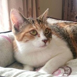 元気いっぱい小柄な三毛猫ミファちゃん