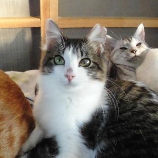 片目ハンデの超美猫★半長毛のタニちゃん