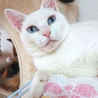 《毎日譲渡会!》白い毛並み、青い瞳のハープちゃん