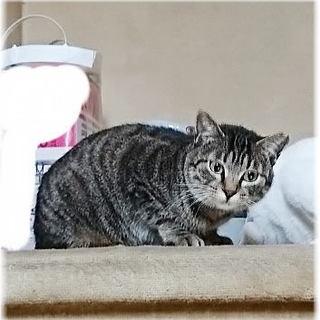 約1歳半の女の子★兄弟猫①~③の母猫