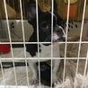 急募‼︎人懐っこいフレンチブルドッグ子犬