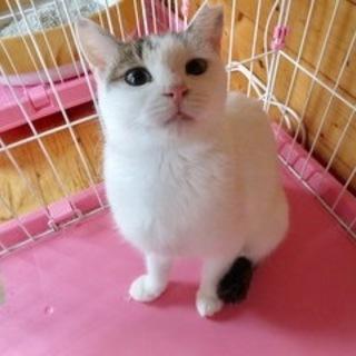 3才美人猫 キジ白